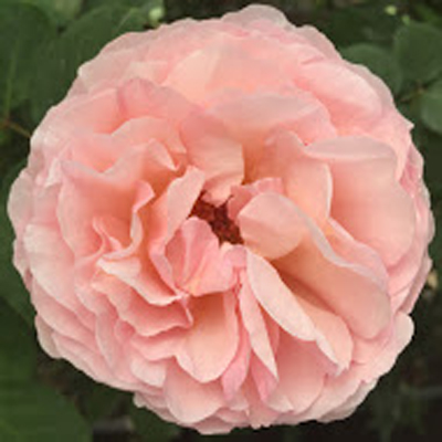 Princess Charlene Garden Roses for Weddings, Events and DIY Brides