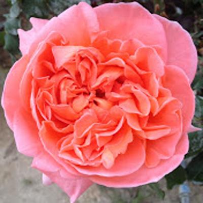 Rene Goscinny Garden Roses for Weddings, Events and DIY Brides. Wholesale Florist in Fairfield, NJ