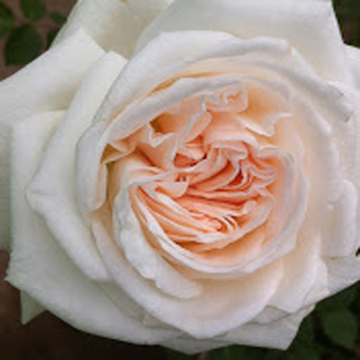 White OHara Garden Roses for Weddings, Events and DIY Brides. Wedding Florist in Farifield NJ