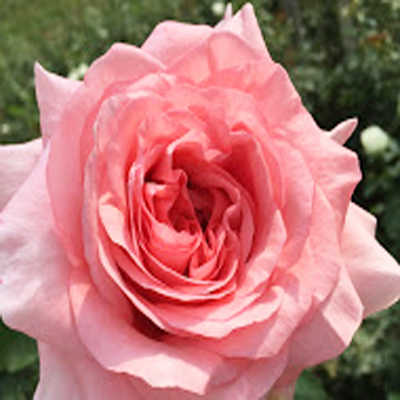 Arthur Rimbaud Garden Roses For Weddings, Events and DIY Brides. Wedding Florist in Farifield, NJ