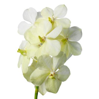 Vanda Tayanee White for Weddings, Events and DIY Bride. Wedding Florist in NNJ